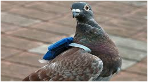 carry-on-pigeon