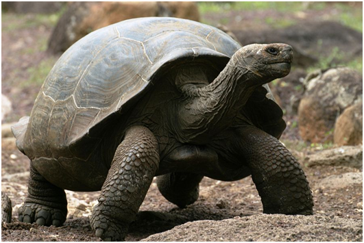 Interesting Facts about Giant Tortoises